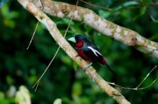 Red and black broadbill. Photo copyright: David Bartholomew