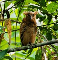 Buffy fish owl. Photo copyright: David Bartholomew