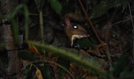 Lesser mouse-deer. Photo copyright: David Bartholomew