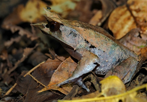 Long nosed horned frog. Photo copyright: David Bartholomew